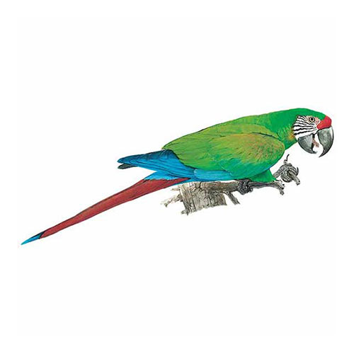 Animal Kingdom answer: MACAW