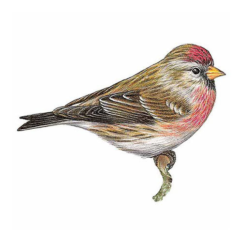 Animal Kingdom answer: REDPOLL