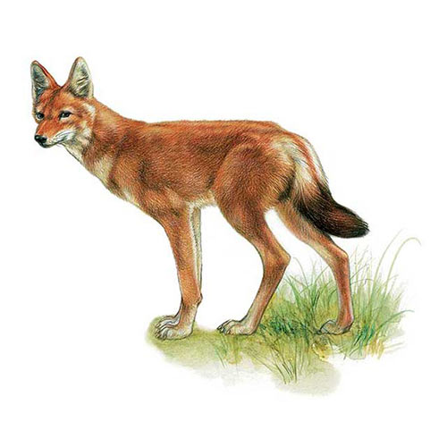 Animal Kingdom answer: ETHIOPIAN WOLF
