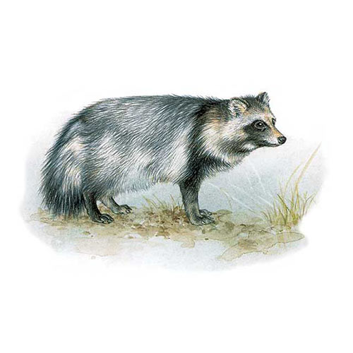 Animal Kingdom answer: RACCOON DOG
