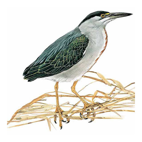 Animal Kingdom answer: STRIATED HERON