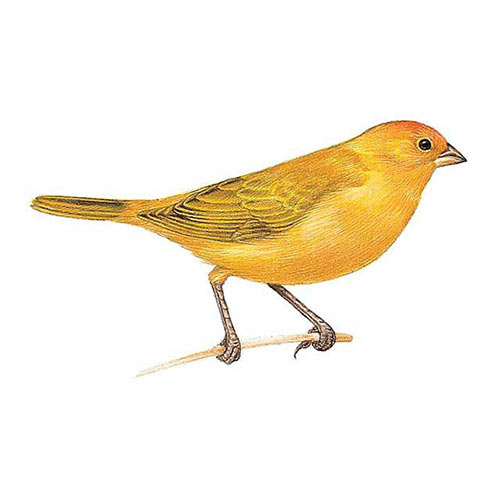 Animal Kingdom answer: SAFFRON FINCH