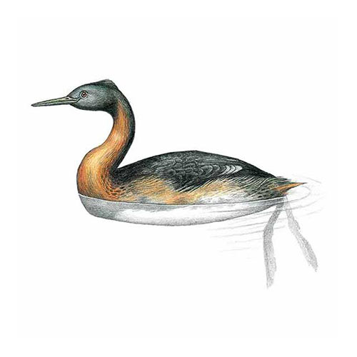 Animal Kingdom answer: GREAT GREBE