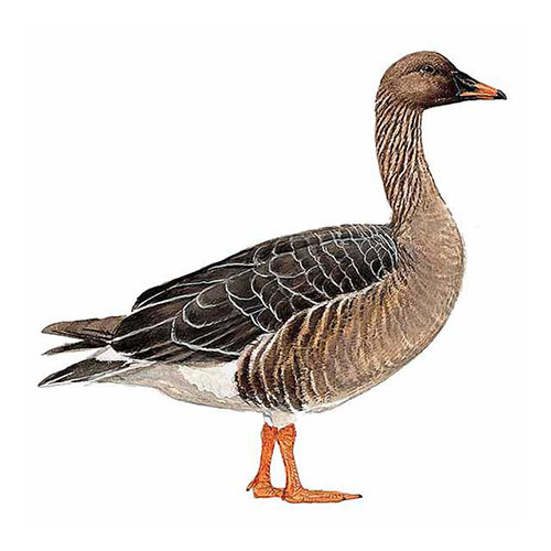 Animal Kingdom answer: BEAN GOOSE