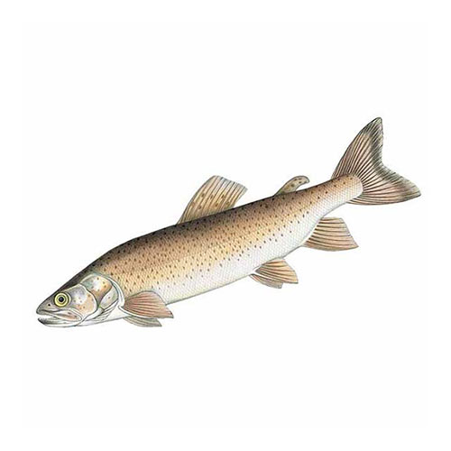 Animal Kingdom answer: DANUBE SALMON