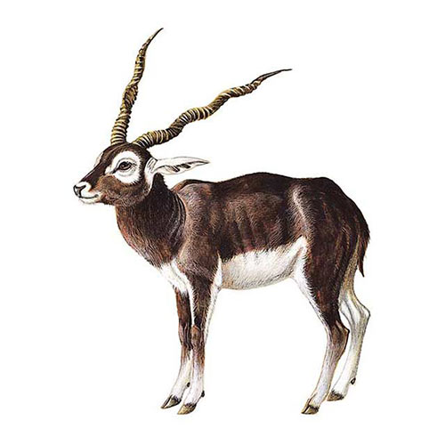 Animal Kingdom answer: BLACKBUCK