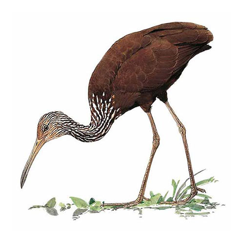 Animal Kingdom answer: LIMPKIN