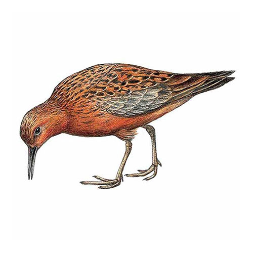 Animal Kingdom answer: RED KNOT