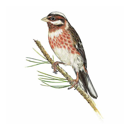 Animal Kingdom answer: PINE BUNTING