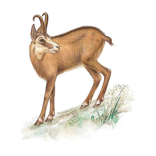 Animal Kingdom answer: CHAMOIS