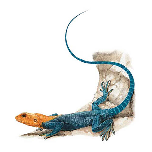 Animal Kingdom answer: RAINBOW AGAMA