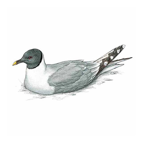 Animal Kingdom answer: SABINES GULL