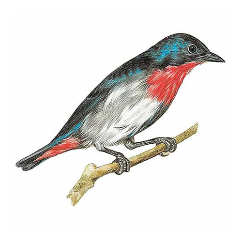 Animal Kingdom answer: MISTLETOEBIRD