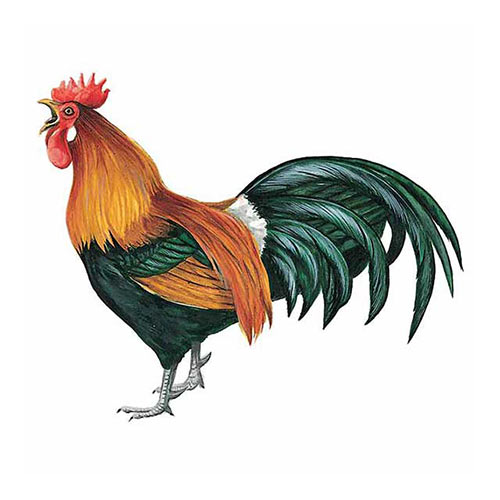 Animal Kingdom answer: RED JUNGLEFOWL