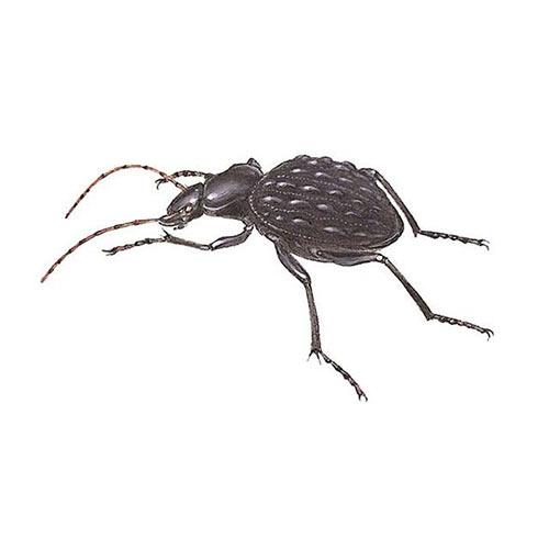 Animal Kingdom answer: CARABUS BEETLE