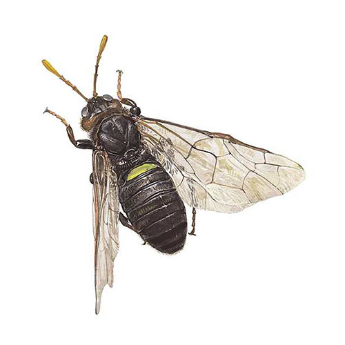 Animal Kingdom answer: BIRCH SAWFLY