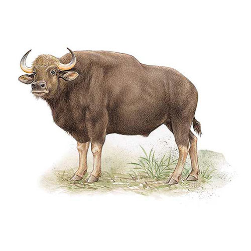 Animal Kingdom answer: GAUR