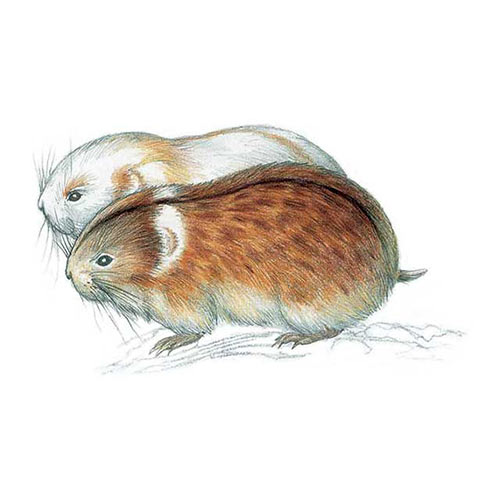 Animal Kingdom answer: ARCTIC LEMMING