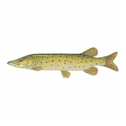 Animal Kingdom answer: MUSKELLUNGE