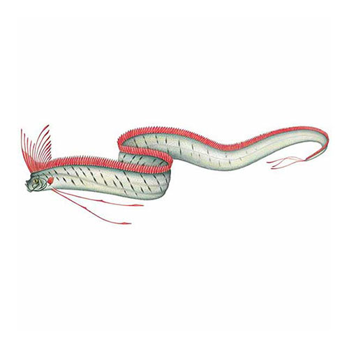 Animal Kingdom answer: GIANT OARFISH
