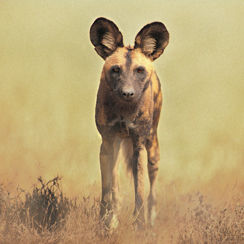 Animal Planet answer: AFRICAN WILD DOG