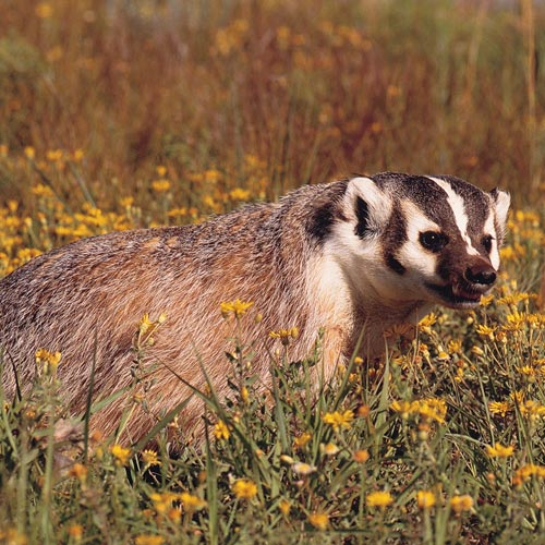 Animal Planet answer: AMERICAN BADGER