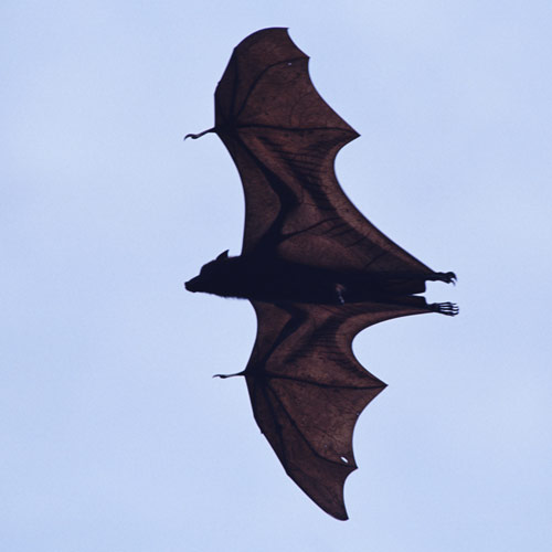 Animal Planet answer: BAT