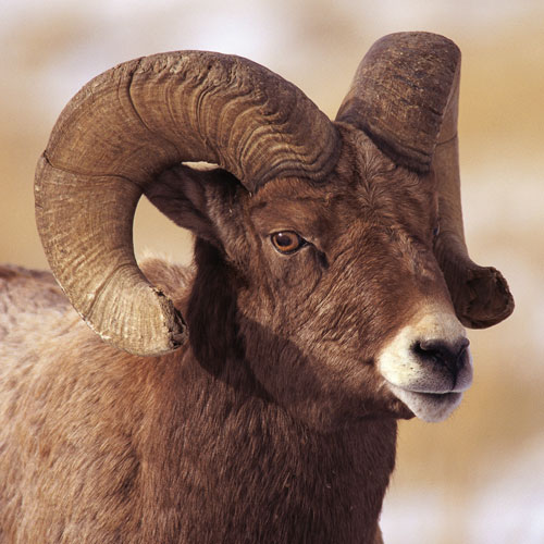Animal Planet answer: BIGHORN SHEEP