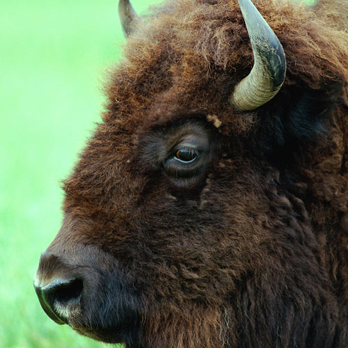 Animal Planet answer: BISON