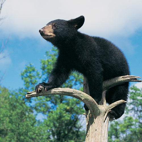 Animal Planet answer: BLACK BEAR
