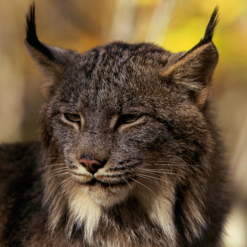 Animal Planet answer: CANADA LYNX