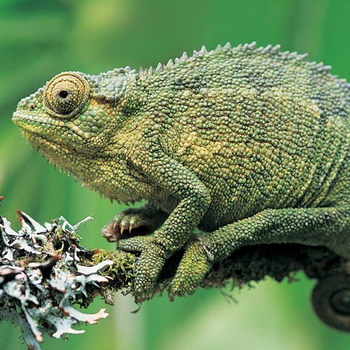 Animal Planet answer: CHAMELEON