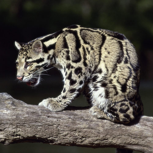 Animal Planet answer: CLOUDED LEOPARD