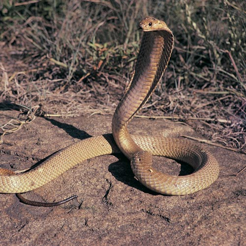 Animal Planet answer: COBRA