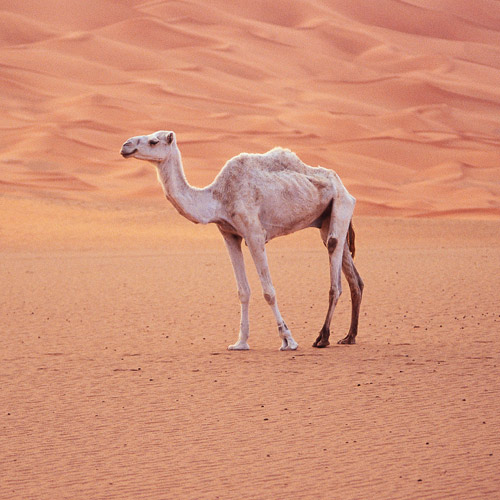 Animal Planet answer: CAMEL