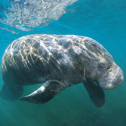 Animal Planet answer: MANATEE