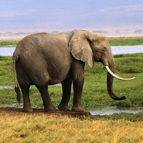 Animal Planet answer: ELEPHANT