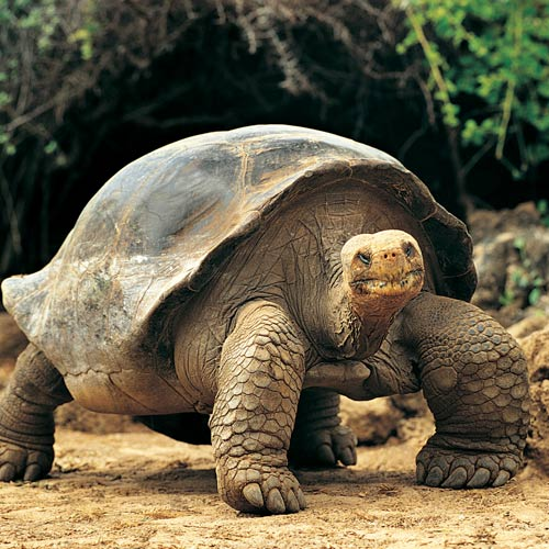 Animal Planet answer: GIANT TORTOISE