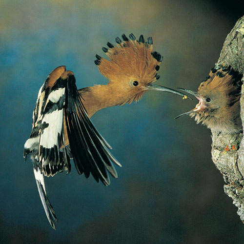 Animal Planet answer: HOOPOE
