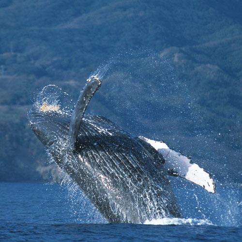 Animal Planet answer: HUMPBACK WHALE
