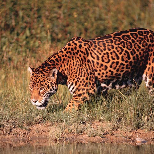Animal Planet answer: JAGUAR