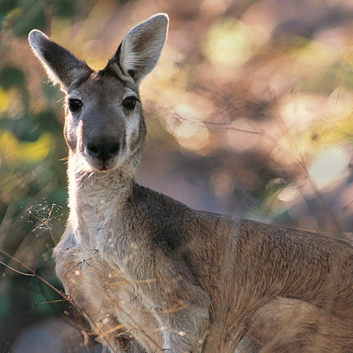 Animal Planet answer: KANGAROO