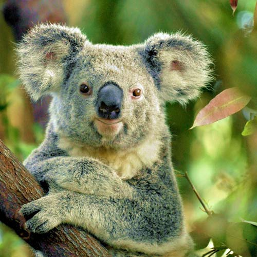 Animal Planet answer: KOALA