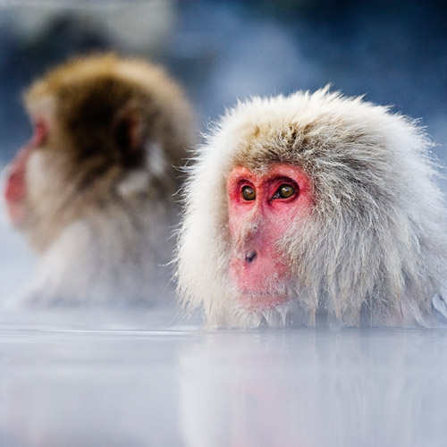 Animal Planet answer: MACAQUE
