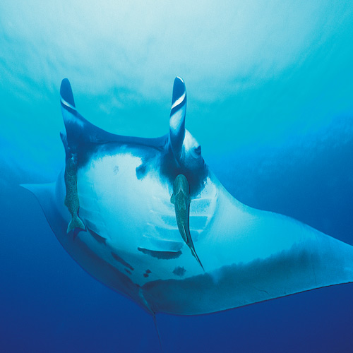 Animal Planet answer: MANTA RAY