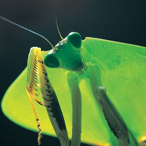 Animal Planet answer: MANTIS