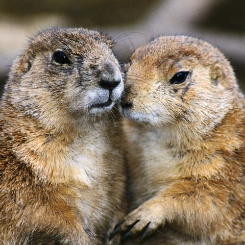 Animal Planet answer: MARMOT