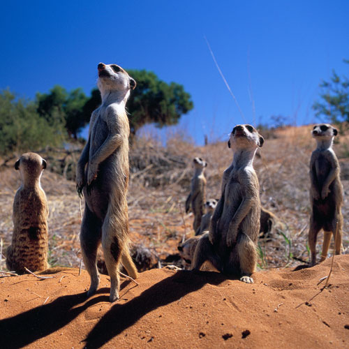 Animal Planet answer: MEERKAT