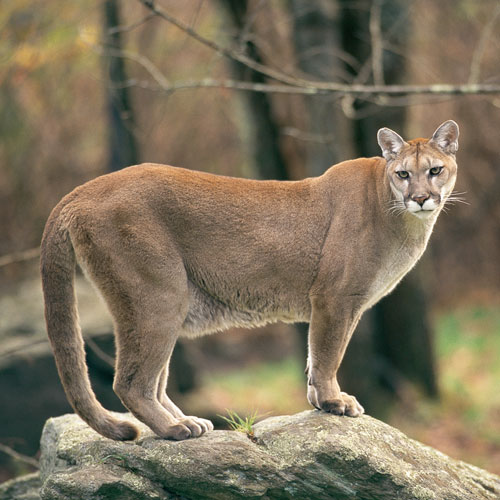 Animal Planet answer: MOUNTAIN LION