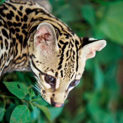 Animal Planet answer: OCELOT